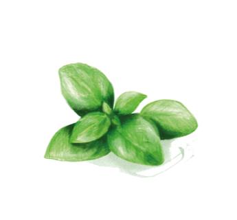 Basilikum Olivenöle